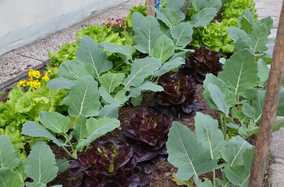 Salatbeet Gemüse biologisch regional nachhaltig umweltfreundlich saisonal Hausgarten Selbstversorger Jungpflanzen Obst Gemüsekiste Sortenerhalter