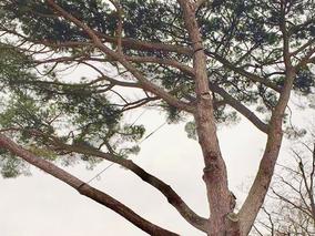 """branches charpentieres sécurisées avec des cordes """"haubans"""""""
