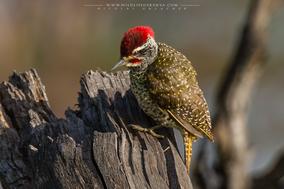 nubian woodpecker, Campethera nubica, pic de nubie, birds opf kenya, wildlife of kenya
