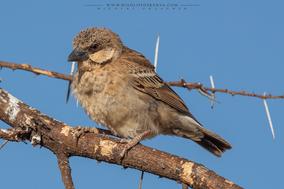donaldson-smith's sparrow-weaver, tejedor gorrion de donaldson, mahali de donaldson, birds of Kenya, birds of africa, widllife of kenya