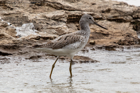 Marsh sandpiper, chevalier stagnatile, archibebe fino, Tringa stagnatilis, birds of kenya, birds of africa, migrant birds, Nicolas Urlacher, wildlife of kenya