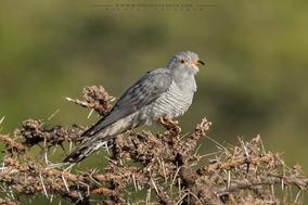 african cuckoo, coucou africain, , cuculus gularis, Afrikanerkuckuck, Cuco Barbiblanco, Nicolas Urlacher, wildlife of kenya, birds of kenya, birds of africa