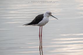 black-winged stilt, échasse blanche, cigüeñuela de alas negras, Nicolas Urlacher, wildlife of kenya, bird