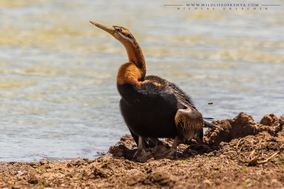 african darter, anhinga d'afrique, anhinga fricana, Anhinga rufa, birds of kenya, wildlife of kenya, nicolas urlacher, water birds of kenya