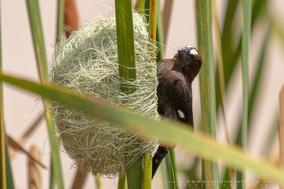 thick-billed weaver, Amblyospiza albifrons, grosbeak weaver, Amblyospize à front blanc, tejedor picogordo, birds of kenya, wildlife of kenya