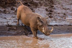 warthog, phacochère, facoquero, wildlife of kenya, Nicolas Urlacher