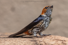 lesser striped swallow, hirondelle striée, golondrina abisinia, Nicolas Urlacher, wildlife of kenya
