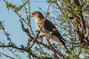 gabar goshawk, autour gabar, gavilan gabar, nicolas Urlacher, wildlife of kenya, birds of kenya, birds of africa, birds of prey of kenya, raptors of kenya