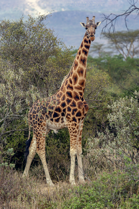 girafe de rotschild, jirafa de rothschild, rotschild's giraffe distribution map, endangered species, Nicolas Urlacher, wildlife of Kenya