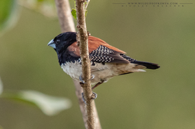 rufous-backed mannikin, red-backed mannikin, brown-backed munia, capucin a dos brun, capuchino de lomo castaño, Spermestes nigriceps, buirds of karura, birds of kenya, birds of africa, wildlife of kenya, Nicolas Urlacher