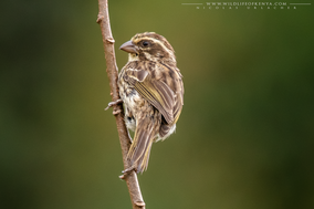 streaky seedeater, serin strié, serin estriado, Beccasemi striato, Strichelgirlitz, Nicolas Urlacher, wildlife of kenya, birds of kenya, birds of africa