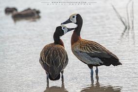 white-faced whistling duck, dendrocygne veuf, suiriri cariblanco, Dendrocygna viduata, birds of kenya