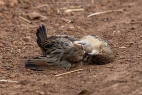 rattling cisticola fighting, birds fight