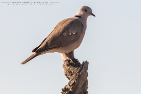 ring-necked dove, tourteerelle du cap, tortola de el cabo, Streptopelia capicola somalica, birds of kenya, birds of africa, wildlife of kenya, Nicolas urlacher