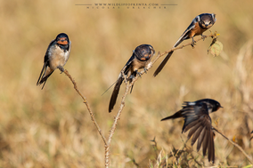 barn swallow, hirondelle rustique, golondrina comun