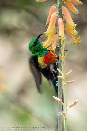 beautiful sunbird, souimanga a longue queue, suimanga colilargo, Cinnyris pulchella , birds of kenya, wildlife of kenya, Nicolas urlacher