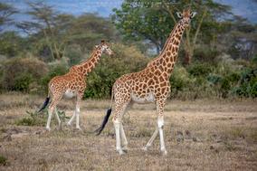 girafe de rotschild, jirafa de rothschild, rotschild's giraffe distribution map, endangered species, Nicolas Urlacher, wildlife of Kenya