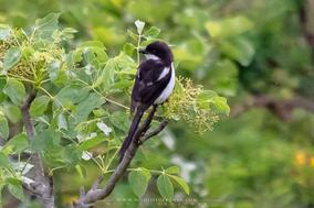 northern fiscal, birds of kenya, wildlife of kenya