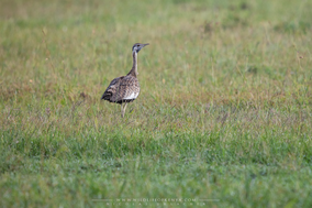 black-bellied bustard, outarde à ventre noir, sison ventinegro comun, Nicolas Urlacher, birds of kenya, birds of africa, wildlife of kenya