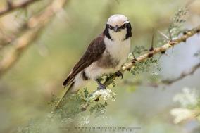 northern white-crowned shrike, white-rumped shrike, alcaudon culiblanco, eurocéphale de ruppell, birds of Kenya, birds of africa, Nicolas Urlacher, wildlife of kenya, Eurocephalus ruppelli