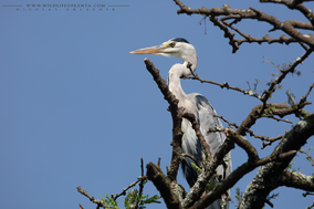 grey heron, héron cendré, garza real, birds of kenya, wildlife of kenya