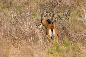 eastern sable antelope, hippotrague noir, antilope sable, wildlife of kenya, Nicolas Urlacher