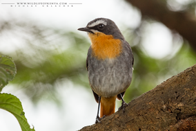 cape robin-chat, cossyphe du cap, cosifa cafre, kaprotel, Cossypha caffra, Nicolas Urlacher, wildlife of kenya, birds of kenya, birds of africa, birding
