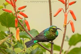 Cinnyris mariquensis, mariqua sunbird, swaheli marico sunbird, souimanga du marico (suahelicus), suimanga del marico, birds of kenya, wildlife of kenya, Nicolas Urlacher