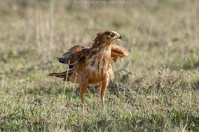 african harrier hawk, gymnogène d'afrique, aguilucho caricalvo comun