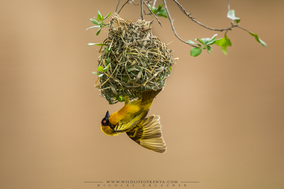 black-headed weaver, tisserin à tête noire, tejedor cabecinegro, birds of Kenya, wildlife of Kenya