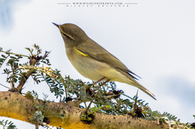 willow warbler, pouillot fitis, mosquitero musical, Phylloscopus trochilus, birds of kenya, birds of africa, migrant birds, wildlife of kenya, Nicolas Urlacher