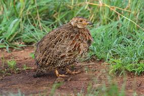 shelley's francolin, francolin de shelley, Scleroptila shelleyi, birds of kenya, wildlife of kenya, birds of Nairobi park