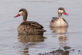 red-billed teal, canard à bec rouge, anade piquirrojo, Anas erythrorhyncha, birds of kenya, birds of africa, Nicolas Urlacher, wildlife of kenya