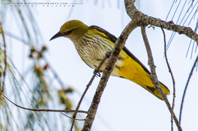 African golden oriole (Oriolus auratus), African oriole, birds of kenya, wildlife of kenya