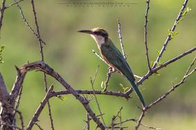 Merops revoilii, somali bee-eater, guepier de révoil, abejaruco somali, birds of kenya, birds of africa, wildlife of kenya, Nicolas Urlacher