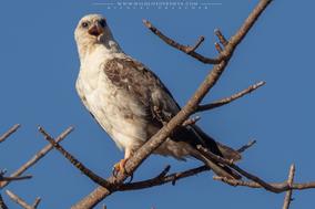 Hieraaetus wahlbergi, wahlberg's eagle, aigle de wahlberg, aguila de wahlberg, birds of prey, birds of kenya, Nicolas Urlacher, wildlife of kenya