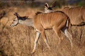 greater kudu, grand koudou, kudu mayor, Samburu national reserve, wildlife of kenya, Nicolas Urlacher
