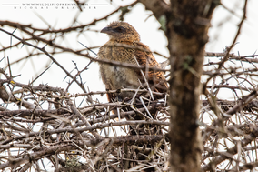 Black coucal, coucal noir, cucal negro, Centropus grillii, birds of kenya, birds of africa, wildlife of kenya, Nicolas urlacher