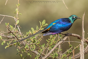 golden-breasted starling, choucador royal, lamprotornis regius, estornino pichidorado, birds of kenya, birds of samburu