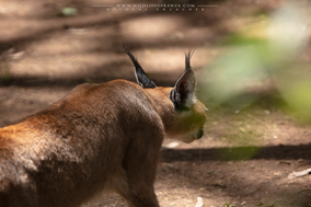 caracal, wildlife of kenya