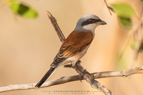 red-backed shrike, Lanius collurio, pie-grièche écorcheur, alcuadon dorsirrojo, birds of kenya, wildlife of kenya