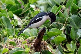 Laniarius aethiopicus, ethiopian boubou, gonolek d'abyssinie, bubu abisinio, Nicolas Urlacher, widllife of kenya, birds of kenya, birds of africa