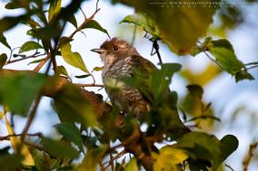 african emerald cuckoo, Coucou foliotocol, Smaragdkuckuck, Cuco Esmeralda, Chrysococcyx cupreus cupreus