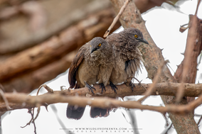 brown babbler, sudan babbler, cratérope brun, turdoide pardo, Turdoides plebejus cinerea, Sudandrossling, birds of kenya, birds of africa, nicolas urlacher, wildlife of kenya