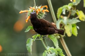 amethyst sunbird, Chalcomitra amethystina, souimanga améthyste, suimanga amatista, birds of africa, birds of kenya, Nicolas Urlacher, Nairobi Park, wildlife of kenya