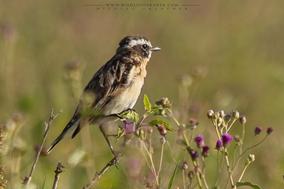 Saxicola rubetra, whinchat, tarier de sprés, tarabilla nortena, birds of kenya, wildlife of kenya, Nicolas urlacher