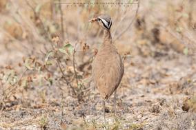 somali courser, Circaetus cinereus, courvite de somalie, birds of kenya, wildlife of kenya
