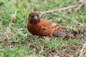 chesnut sparrow, moineau d'Emin, Garrion castaño, Maronensperling, birds of kenya, birds of africa, Nicolas Urlacher, wildlife of kenya