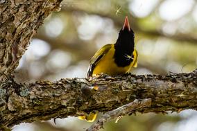 black-headed oriole, loriot masqué, orepéndola enmascarada, Oriolus larvatus, Nicolas Urlacher, wildlife of kenya, birds of kenya, birds of africa