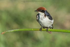 wire-tailed swallow, hirondelle a long brin, golondrina colilarga, Rotkappenschwalbe, Nicolas Urlacher, birds of kenya, birds of africa, wildlife of kenya